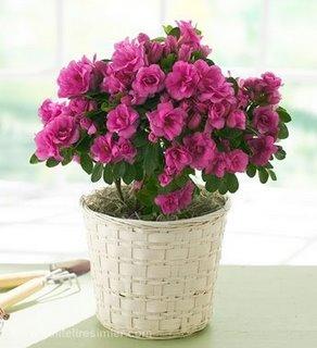 Tanımı yılbaşında çiçeklenen ve asıl adı r hododendion